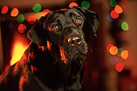 Portrait of a Black Labrador dog with a background of Christmas lights.