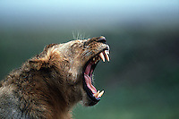 A yawning lion (P. leo) displays its fangs.