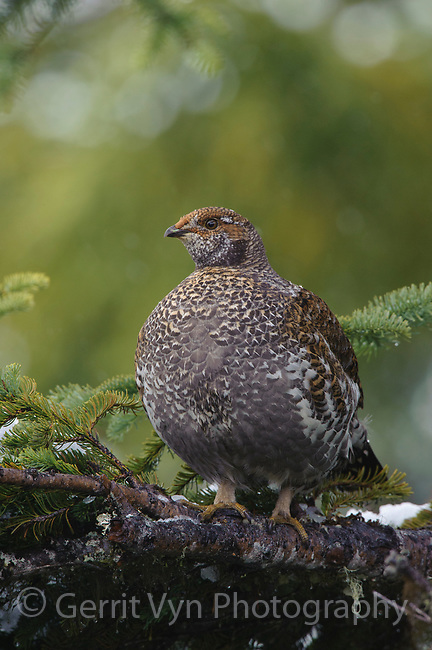 Adult female Sooty Grouse (Dendragapus fuliginosus) in a fir. (Pierce County, Washington. May.