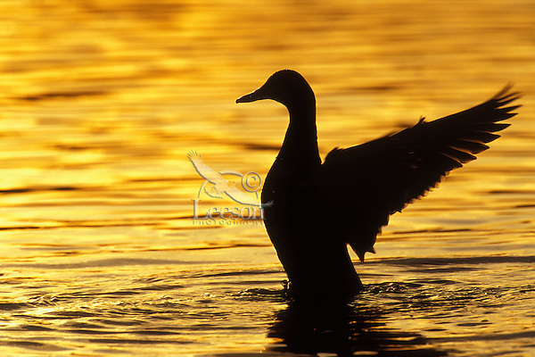 Mallard Duck (Anas platyrhynchos) drying wings at sunset.  Pacific Northwest.
