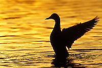 Mallard Duck (Anas platyrhynchos) drying wings at sunset.  Pacific Northwest.