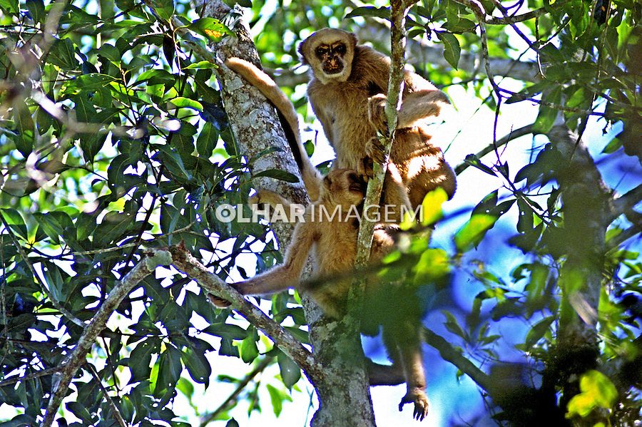 Animais. Mamiferos. Primatas. Macaco Muriqui ou Mono-Carvoeiro (Brachyteles Arachnoides). Foto de Adriano Gambarini.