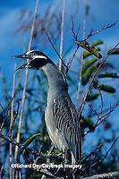 00706-00312 Yellow-crowned night-heron (Nyctanassa violaceus) yawning Everglades NP FL