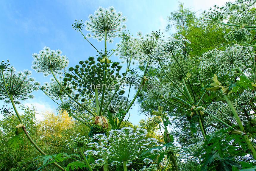 Jardins du pays d'Auge, massif de berce du Caucase (Heracleum mantegazzianum)