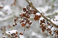 Eschen-Gallmilbe, Eschengallmilbe, Gallmilbe an Esche, Klunker, Klunkern, Klunkergallen, Klunkerngallen, im Winter bei Schnee, Aceria fraxinivora, cauliflower gall mite, ash key gall