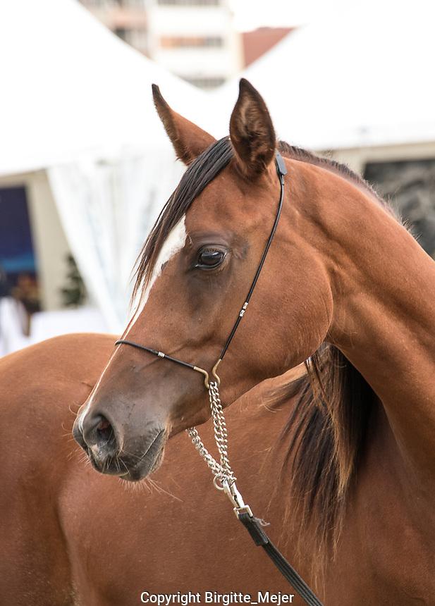 Headshot of Arabian Horse.