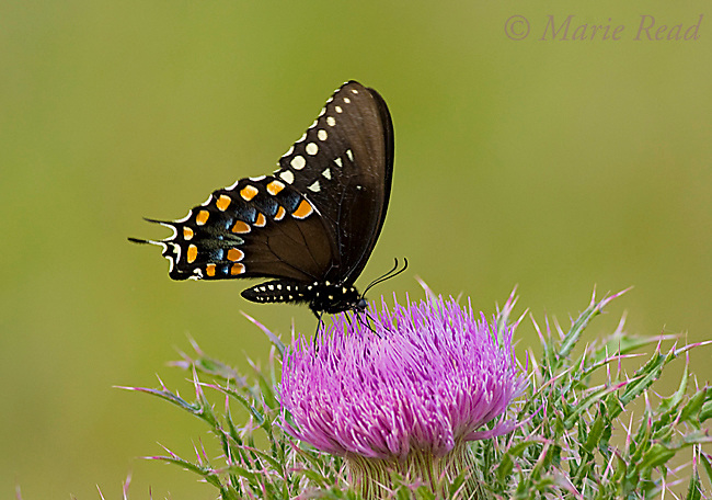 Black Swallowtail (Papilio polyxenes asterius), Florida, USA