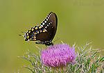 Black Swallowtail (Papilio polyxenes asterius), Florida, USA