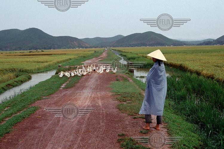 A woman walks with her ducks along a road inbetween rice fields.