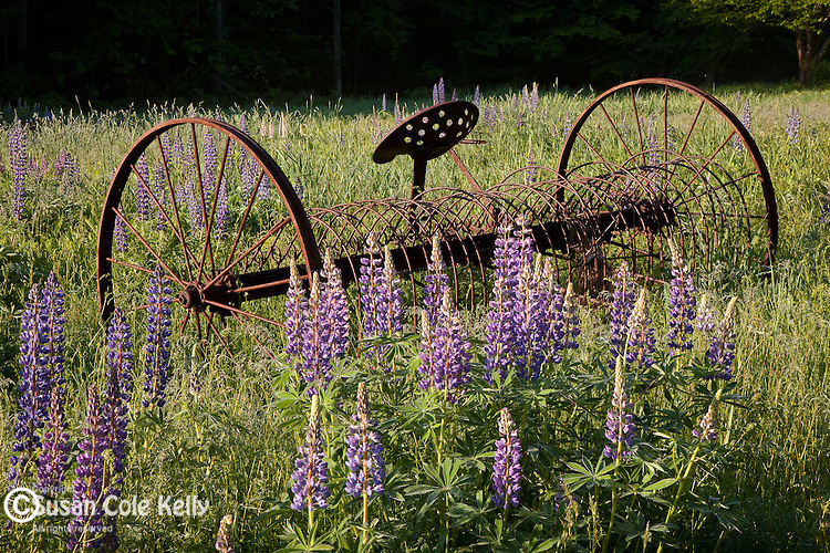 Hayrake and lupines in the field at St. Matthews Church in Sugar Hill, NH, USA