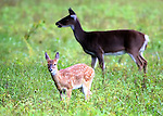 Fawn and mother doe in Cherry Creek State Park, Denver, CO