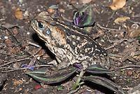 Reuzenpad (Bufo marinus)