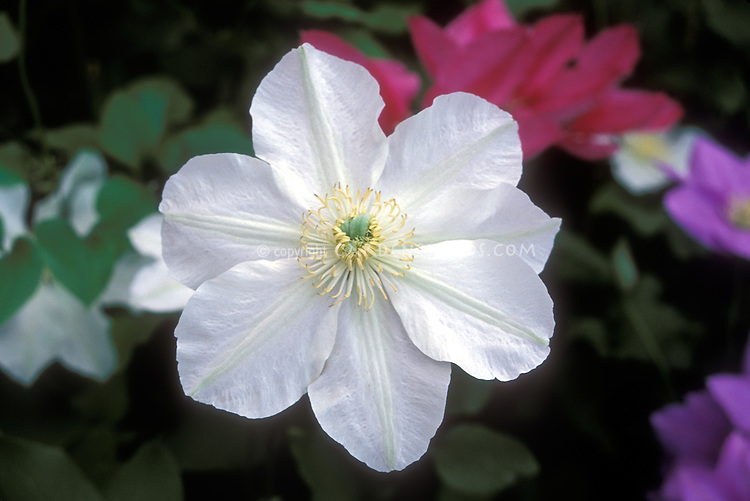 Clematis 'Alabast' = Poulala, white large-flowered perennial climber vine in pure pristine white flowers