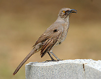 Adult Arizona curve-billed thrasher