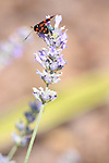A black insect with red spots on its wings rests on a twig of lavender in Loveno, a town just above Menaggio on Lake Como, Italy.