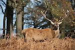 Red deer, the King's deer in London, UK.