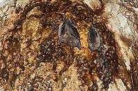 Common Fruit Bats, Artibeus jamaicensis, also called the Jamaican Fruit Bat or Mexican Fruit Bat, roost inside the Caverna de Panaderos (Baker's Cave) near Gibara, Cuba