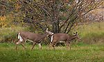 White-tailed buck chasing a doe in northern Wisconsin.