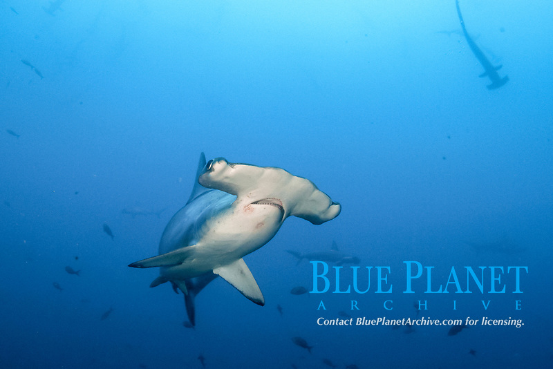 scalloped hammerhead shark, Sphyrna lewini, also known as the bronze, kidney-headed or southern hammerhead, endangered scalloped hammerhead shark swimming, Cocos Island National Park, Costa Rica, Pacific Ocean