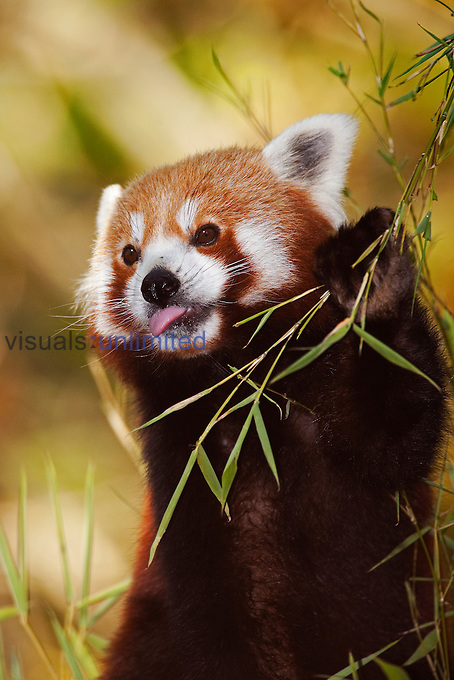 Red Panda (Ailurus fulgens) eating Bamboo leaves