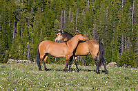 Mustangs or Wild Horses (Equus ferus caballus) standing in meadow carpeted with wildflowers.  Western U.S., summer.
