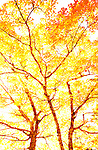 Abstract view of fiery maple trees during autumn in Acadia National Park, Maine, USA