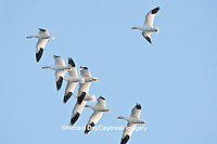 00754-02304 Snow Geese (Chen caerulescens) in flight, Marion Co., IL