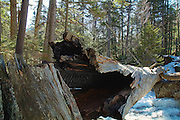 A dead tree across Cascade Brook near the Basin Cascade Trail in the White Mountains, New Hampshire USA.