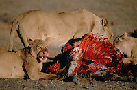 Lions are very indolent and spend the vast majority of their time simply resting. When hunger - or opportunity - drives them to hunt, it is the females who normally do this, although it is accepted that dominant males are the first to feed after a kill.