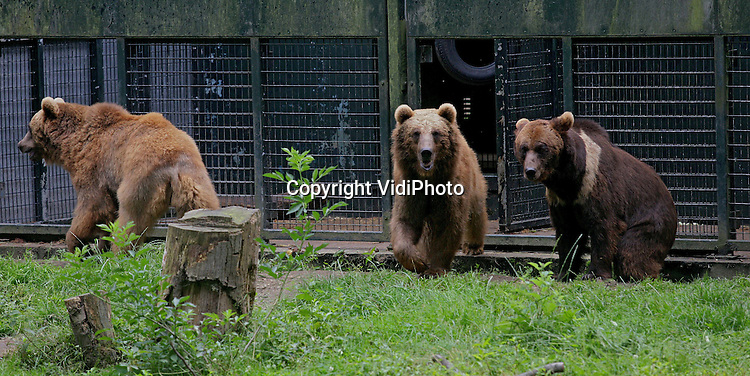 Foto: Henk Aalbers..RHENEN - Het Berenbos in Ouwehands Dierenpark in Rhenen heeft er drie beren bij. De drie Georgische beren die door de berenstichting Alertis van de dood zijn gered en eind april naar Nederland werden getransporteerd, hebben donderdag voor het eerst van hun leven een stukje vrijheid gekregen. Duuk, Diesel en Igor werden losgelaten in het Berenbos. De dieren hebben hun leven lang opgesloten gezeten in een hok. Omdat de beren wegens sluiting van de dierentuin in het Georgische Rustavi zouden worden afgemaakt, besloot Alertis ze naar het Berenbos te halen.