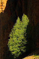 Tree and shadow. Sinclair Canyon<br /> Kootenay National Park<br /> British Columbia<br /> Canada
