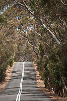 A paved road passes uphill through a tunnel of native eucalyptus trees on the Fluerieu Peninsula, near Adelaide, Australia.
