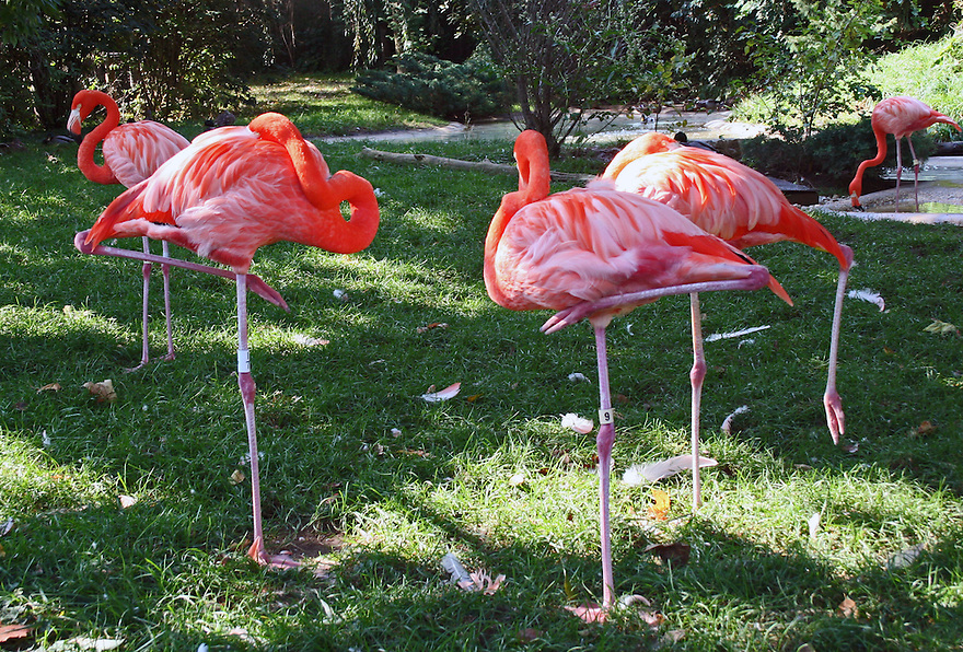 Pink flamingoes standing on one leg resting