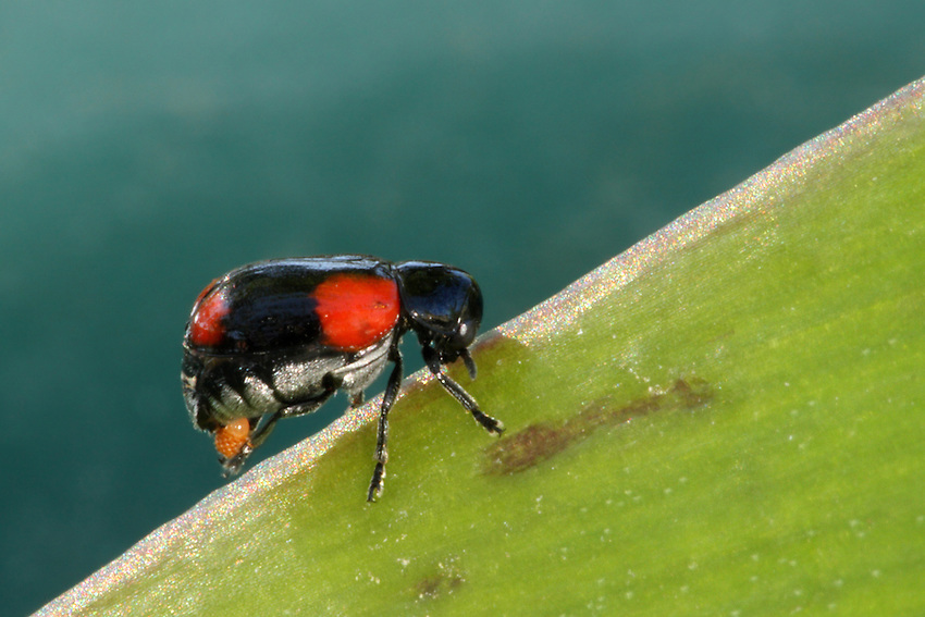 Four-spotted Babia Leaf Beetle (Babia quadriguttata).<br /> Seen here depositing its egg sack on the leaf.