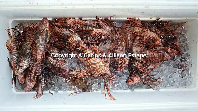 Pterois volitans, Lionfish, Key Largo, Florida