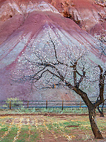 Many fruit trees remain planted by the early Mormon settlers in Fruta Utah in Capitol Reef National Park.