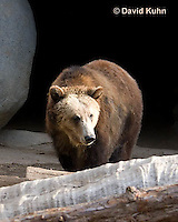 0325-1001  Grizzly Bear, Ursus arctos horribilis  © David Kuhn/Dwight Kuhn Photography.