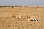 Two lions roam the Maasai Mara plains as topi and other herds graze. Kenya