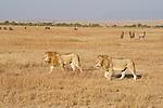 Two lions roam the Maasai Mara plains as topi and other herds graze. Kenya