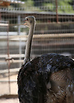 A picture taken on August 12, 2017 shows a Ostrich is seen at the Qalqilya Zoo, in the west bank city of Qalqilya. The Qalqilya national Zoo garden established in 1986 on 40 donums. Photo by Ayman Ameen