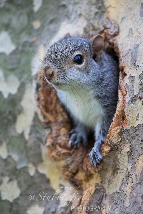 Eastern Gray Squirrel (Sciurus carolinensis), a baby peering out of it's nest hole in a tree in New York City's Central Park.