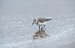 Sanderling, Calidris alba, Salt Pans, Ria Formosa East, Algarve, Portugal, Winter Plumage