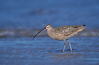 Long-billed Curlew, Numenius americanus,adult, Padre Island National Seashore, Texas, USA