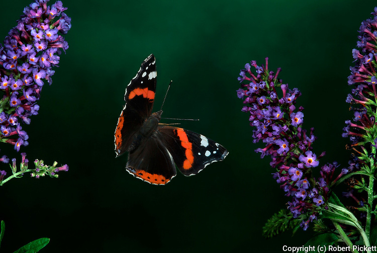 Red Admiral Butterfly, Vanessa atalanta, in flight through buddlehia, flying, wings high speed photographic flash technique.United Kingdom....