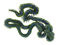 phyllodoce lamelligera