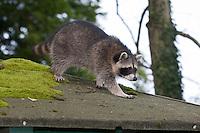 """Waschbär, etwa 5 Monate altes Jungtier auf einem moosbewachsenem Dach, """"Tiere in Dorf und Stadt"""", Männchen, Rüde, Waschbaer, Wasch-Bär, Procyon lotor, Raccoon, Raton laveur, """"Frodo"""""""