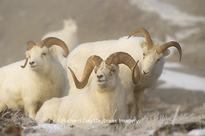 01989-003.06 Dall sheep (Ovis dalli) rams in fog in winter, Yukon   Canada