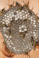 Gallische Feldwespe, Französische Feldwespe, beim Nestbau auf den Waben, Polistes dominulus, Polistes dominula, Polistes gallicus, Papierwespe, Vespinae, Faltenwespe, Vespidae, paper wasp