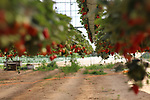 A Palestinian farmer inspects hanging Strawberry plants at green house in Beit Lahia in the northern Gaza Strip on February 14, 2018. Palestinians use Strawberries or a red gold as gifts in Valentine's Day, where people around the world celebrate on February 14 in World Valentine's Day. Photo by Mahmoud Ajour