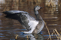 537296156  a wild juvenile blue phase snow goose chen caerulescens performs a wing stretch in a small reed filled pond at bosque del apache national wildlife refuge new mexico united states